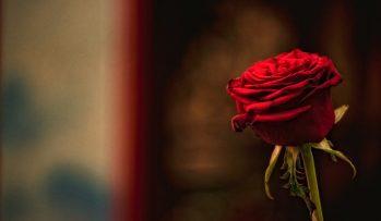 rosa-roja-tallo-flor-petalos-amor-romantico-Fondos-de-Pantalla-HD-professor-falken.com_